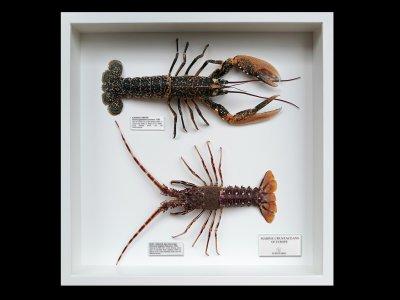 Marine Crustaceans of Europe 2